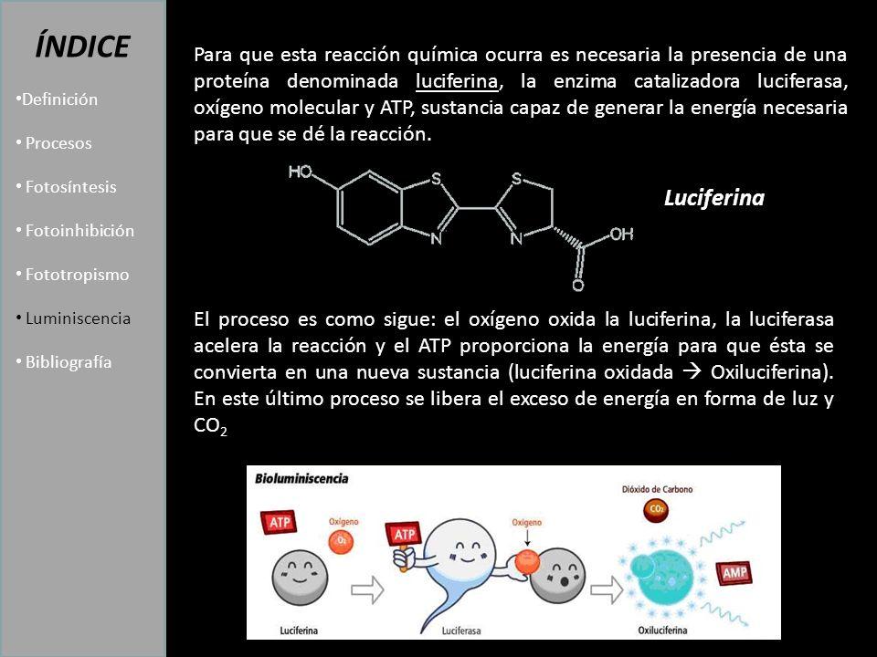 Luciferina ÍNDICE Definición Procesos Fotosíntesis Fotoinhibición Fototropismo Luminiscencia Bibliografía Para que esta reacción química ocurra es necesaria la presencia de una proteína denominada luciferina, la enzima catalizadora luciferasa, oxígeno molecular y ATP, sustancia capaz de generar la energía necesaria para que se dé la reacción.