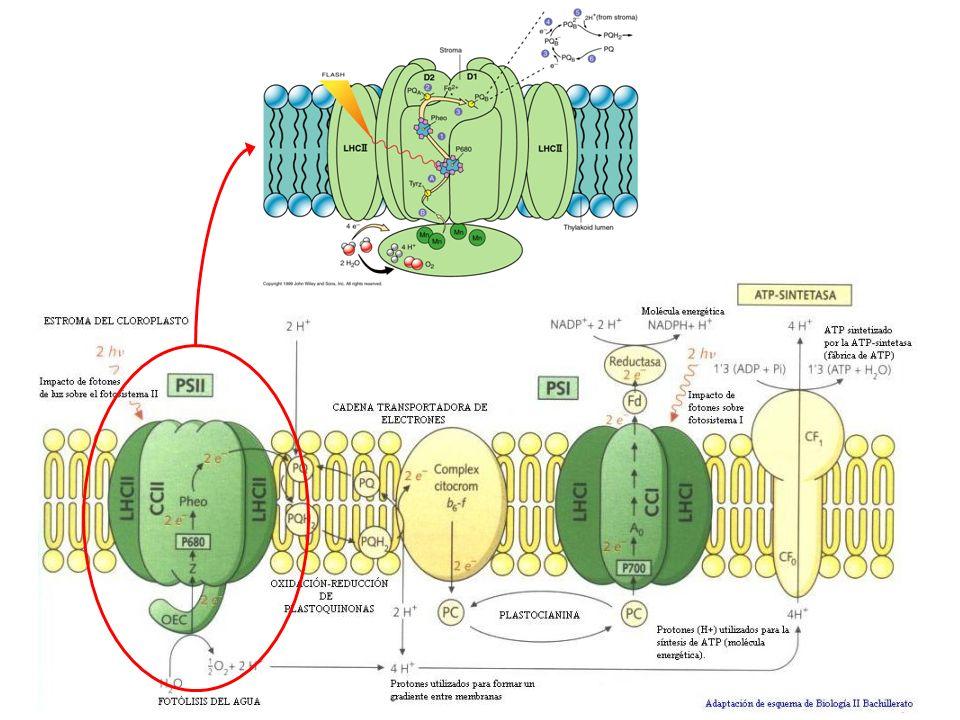 Fototropismo En plantas hace referencia a la respuesta del vegetal frente al estímulo luminoso.
