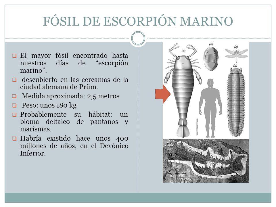 FÓSIL DE ESCORPIÓN MARINO El mayor fósil encontrado hasta nuestros días de escorpión marino. descubierto en las cercanías de la ciudad alemana de Prüm