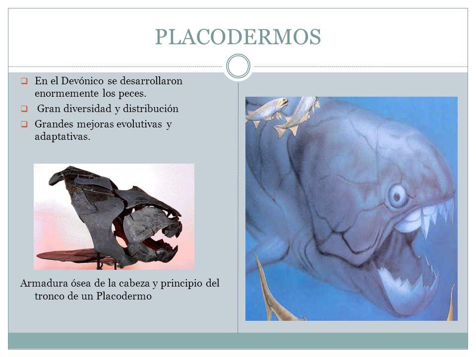 PLACODERMOS En el Devónico se desarrollaron enormemente los peces. Gran diversidad y distribución Grandes mejoras evolutivas y adaptativas. Armadura ó