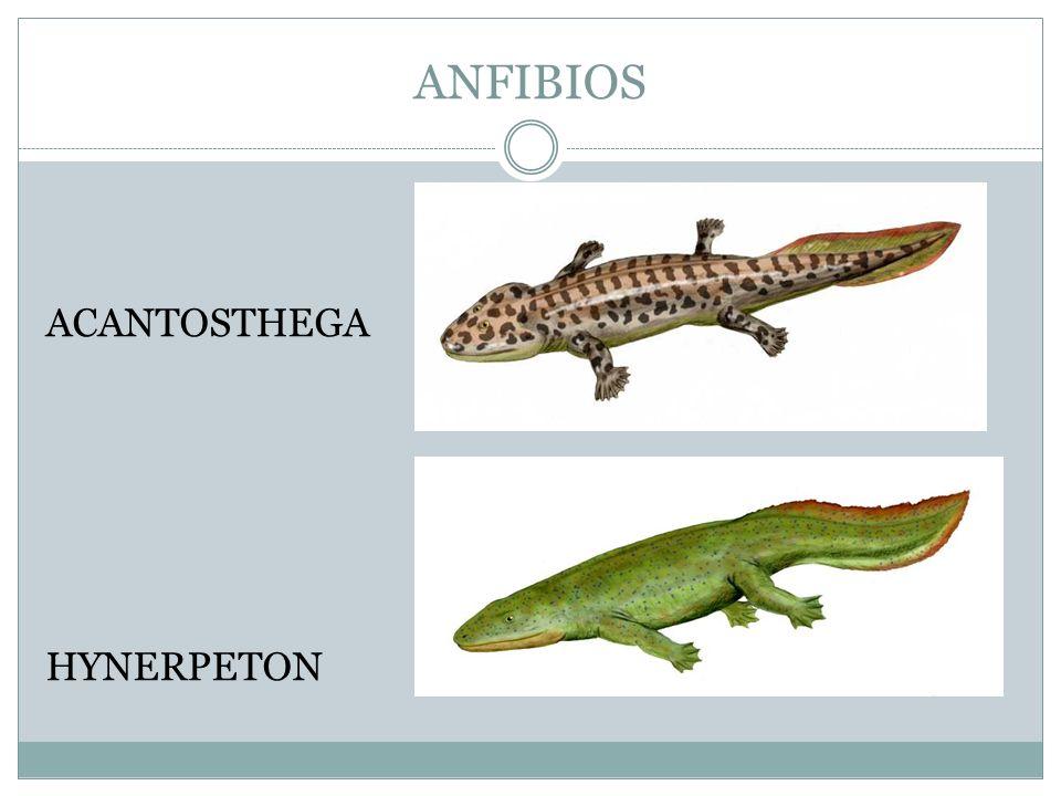 ANFIBIOS ACANTOSTHEGA HYNERPETON