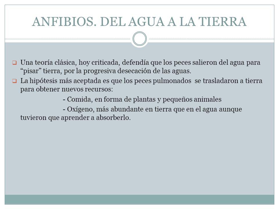 ANFIBIOS. DEL AGUA A LA TIERRA Una teoría clásica, hoy criticada, defendía que los peces salieron del agua para pisar tierra, por la progresiva deseca