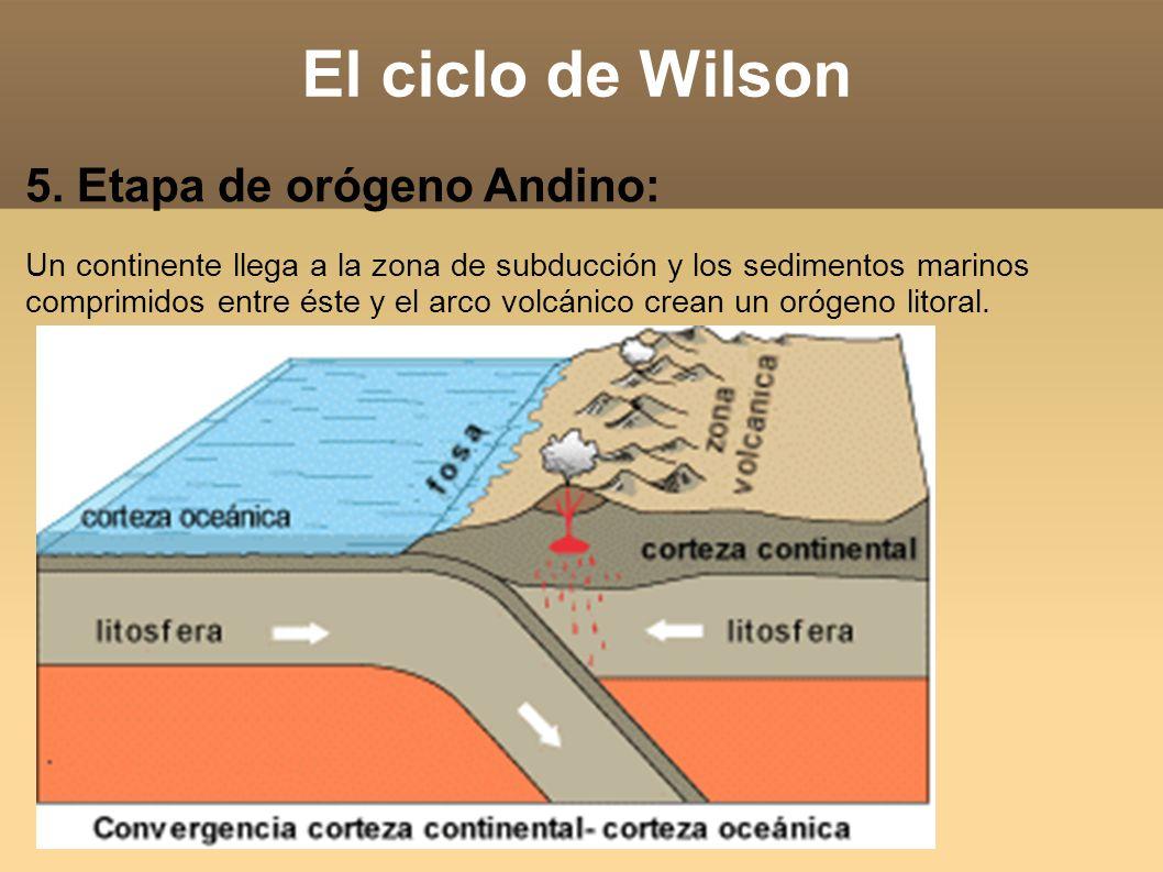 El ciclo de Wilson 5. Etapa de orógeno Andino: Un continente llega a la zona de subducción y los sedimentos marinos comprimidos entre éste y el arco v