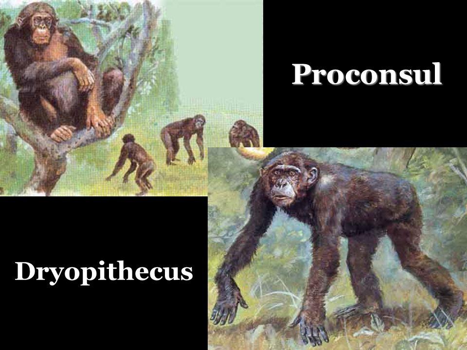 Dryopithecus Proconsul