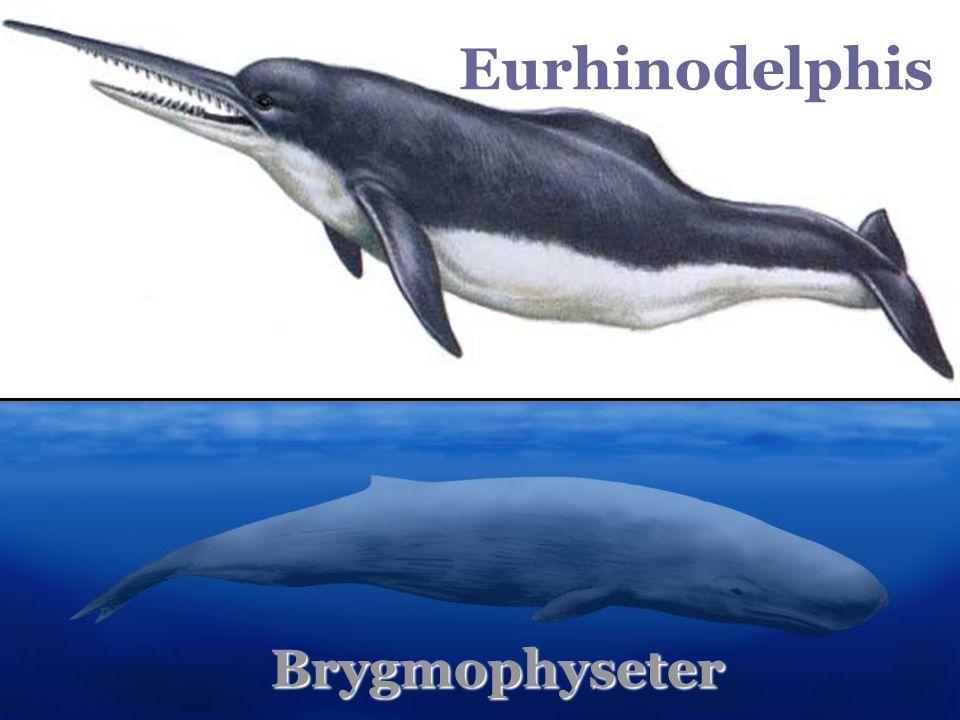 Eurhinodelphis Brygmophyseter