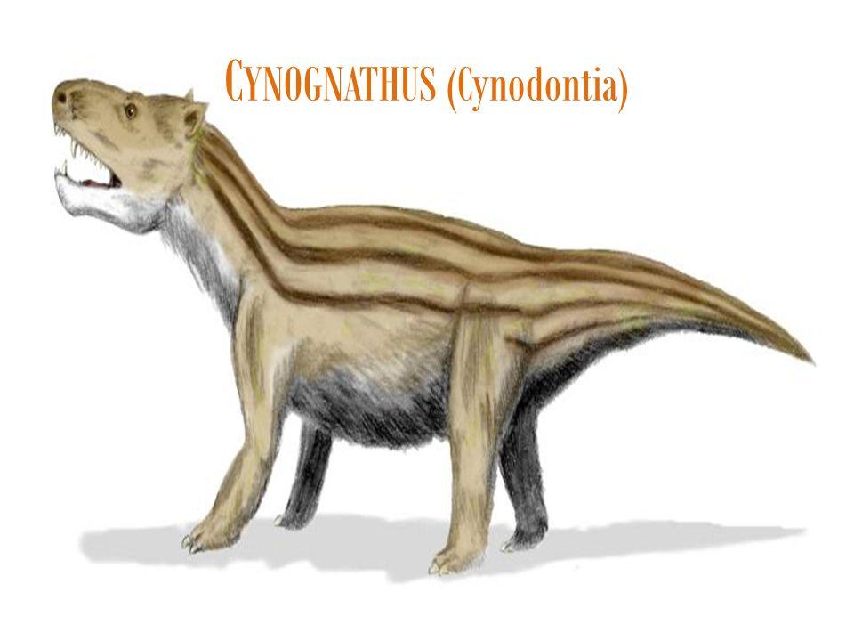 C YNOGNATHUS (Cynodontia)