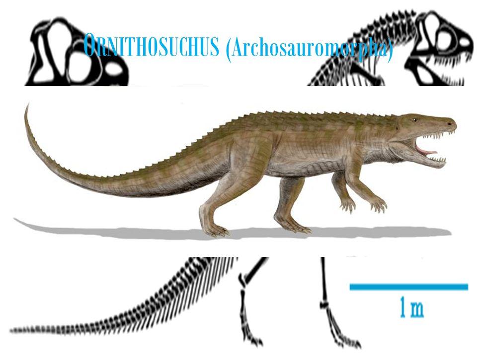 O RNITHOSUCHUS (Archosauromorpha)
