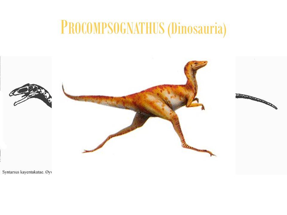 P ROCOMPSOGNATHUS (Dinosauria)
