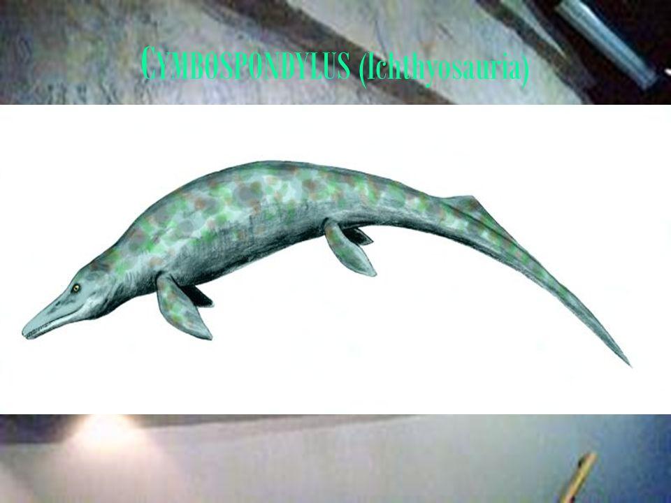 C YMBOSPONDYLUS (Ichthyosauria)
