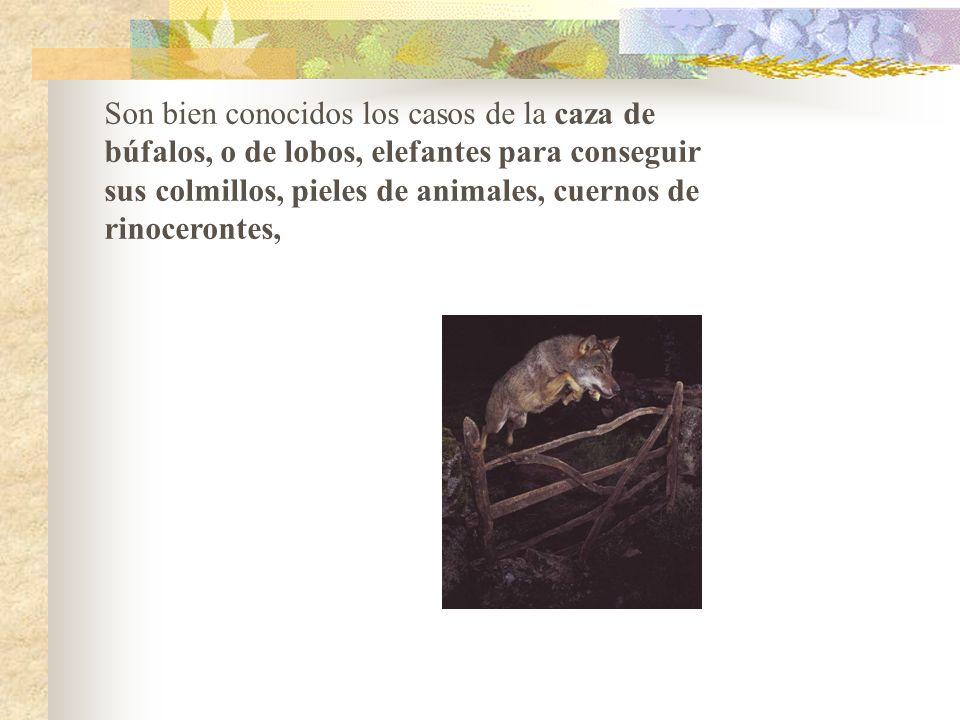 1.ELIMINACION DIRECTA O SOBREEXPLOTACION DE LAS ESPECIES: Se puede producir por ejemplo por caza abusiva sobre determinadas especies, por sobrepesca,