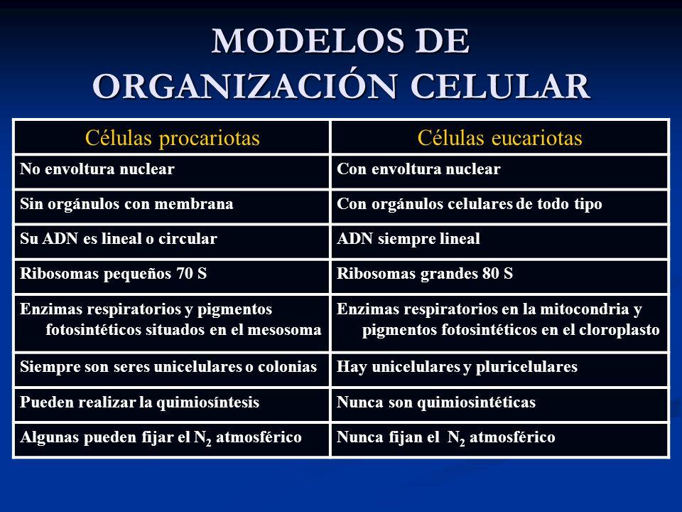 MODELOS DE ORGANIZACIÓN CELULAR Células procariotasCélulas eucariotas No envoltura nuclearCon envoltura nuclear Sin orgánulos con membranaCon orgánulo