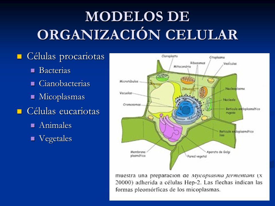 MODELOS DE ORGANIZACIÓN CELULAR Células procariotas Células procariotas Bacterias Bacterias Cianobacterias Cianobacterias Micoplasmas Micoplasmas Célu