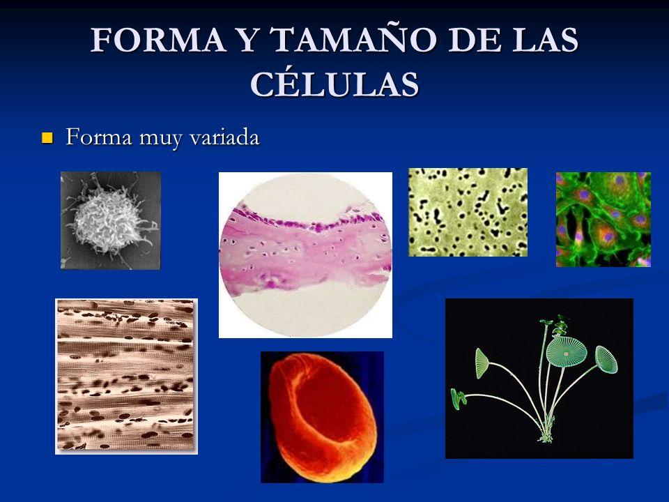 FORMA Y TAMAÑO DE LAS CÉLULAS Tamaño Tamaño Desde 0,2 (micoplasmas) Desde 0,2 (micoplasmas) 1,3 a 10 (Bacterias y células eucariotas) 1,3 a 10 (Bacterias y células eucariotas) 10 cm (Acetabularia) 10 cm (Acetabularia) Hasta 15 cm.
