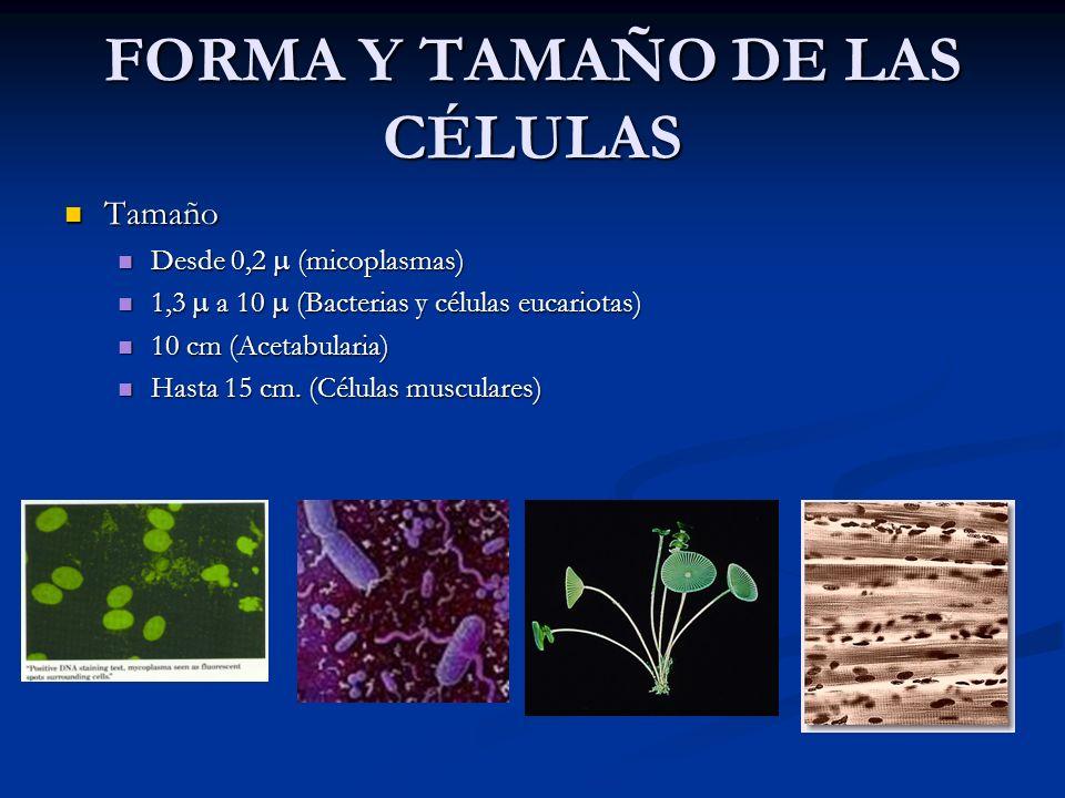FORMA Y TAMAÑO DE LAS CÉLULAS Tamaño Tamaño Desde 0,2 (micoplasmas) Desde 0,2 (micoplasmas) 1,3 a 10 (Bacterias y células eucariotas) 1,3 a 10 (Bacter