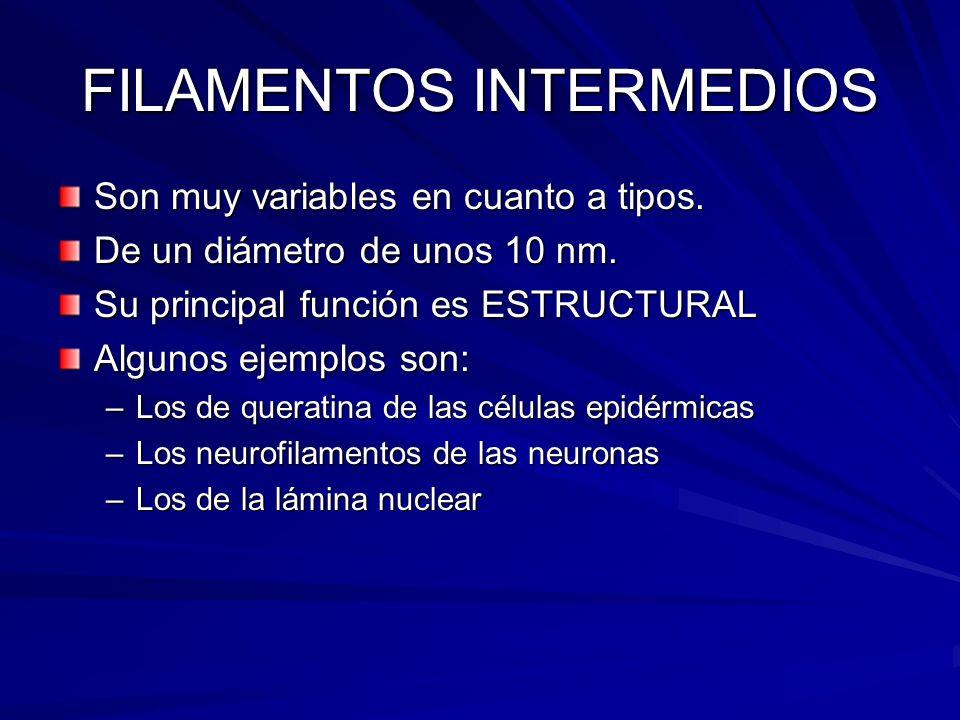 FILAMENTOS INTERMEDIOS Son muy variables en cuanto a tipos. De un diámetro de unos 10 nm. Su principal función es ESTRUCTURAL Algunos ejemplos son: –L