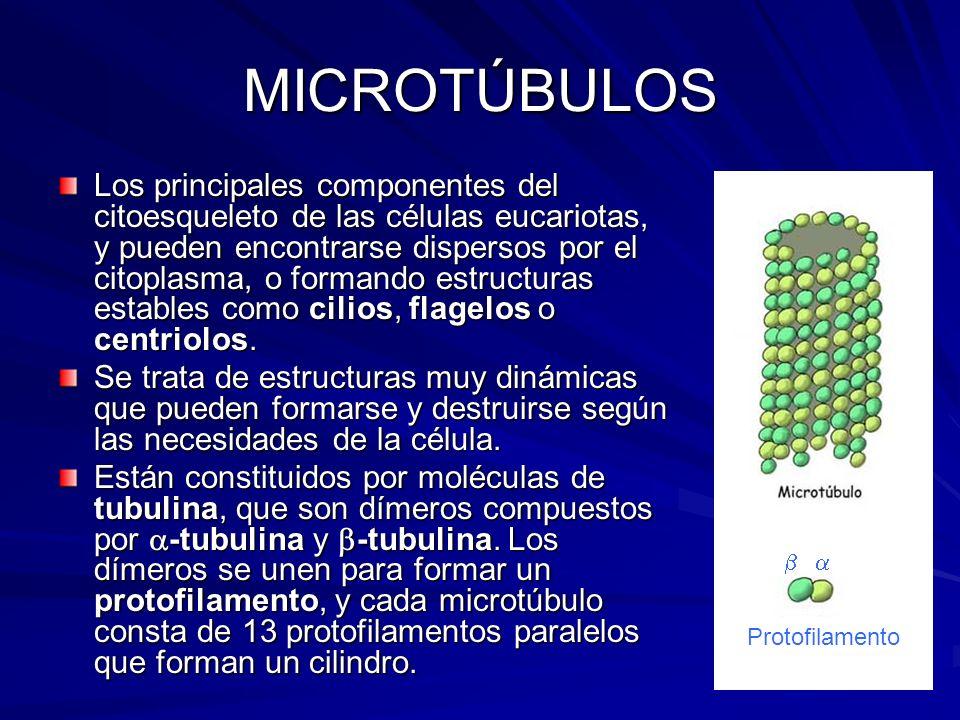 MICROTÚBULOS Los principales componentes del citoesqueleto de las células eucariotas, y pueden encontrarse dispersos por el citoplasma, o formando est