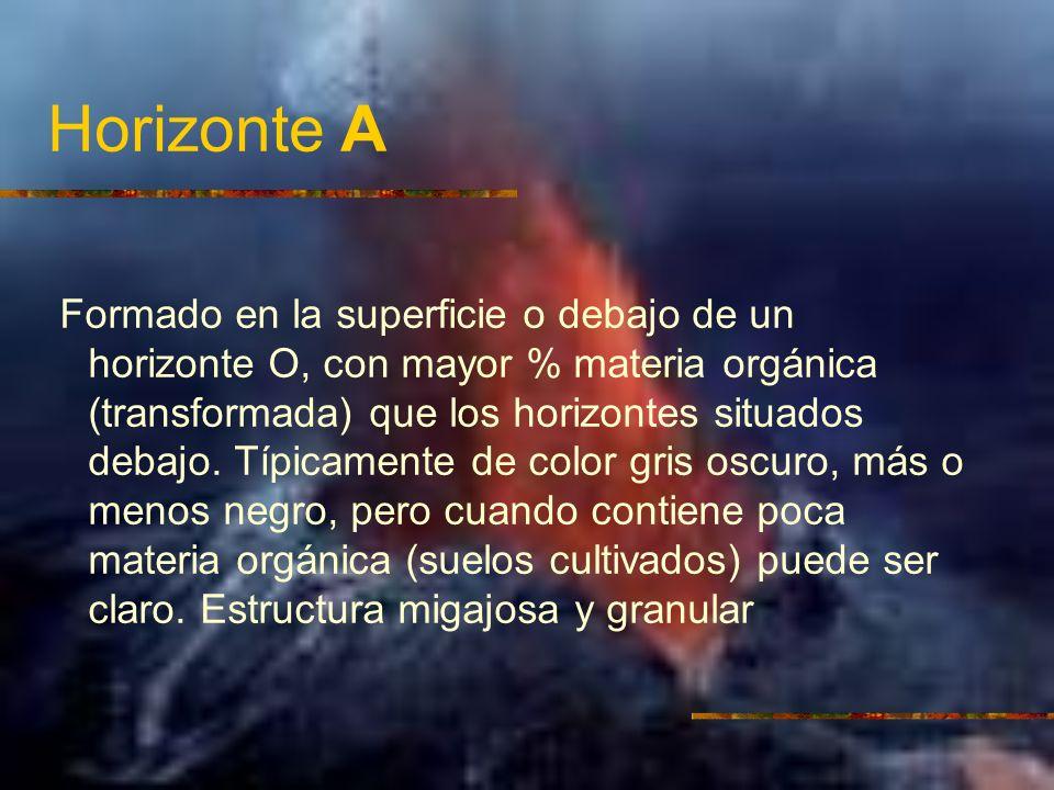 Horizonte A Formado en la superficie o debajo de un horizonte O, con mayor % materia orgánica (transformada) que los horizontes situados debajo. Típic
