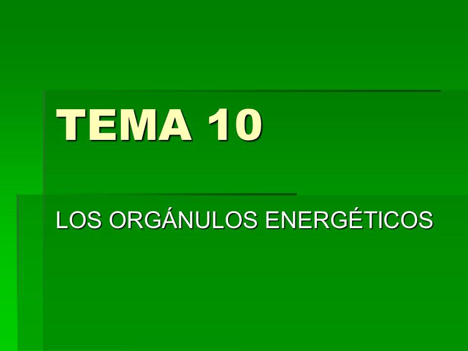 TEMA 10 LOS ORGÁNULOS ENERGÉTICOS