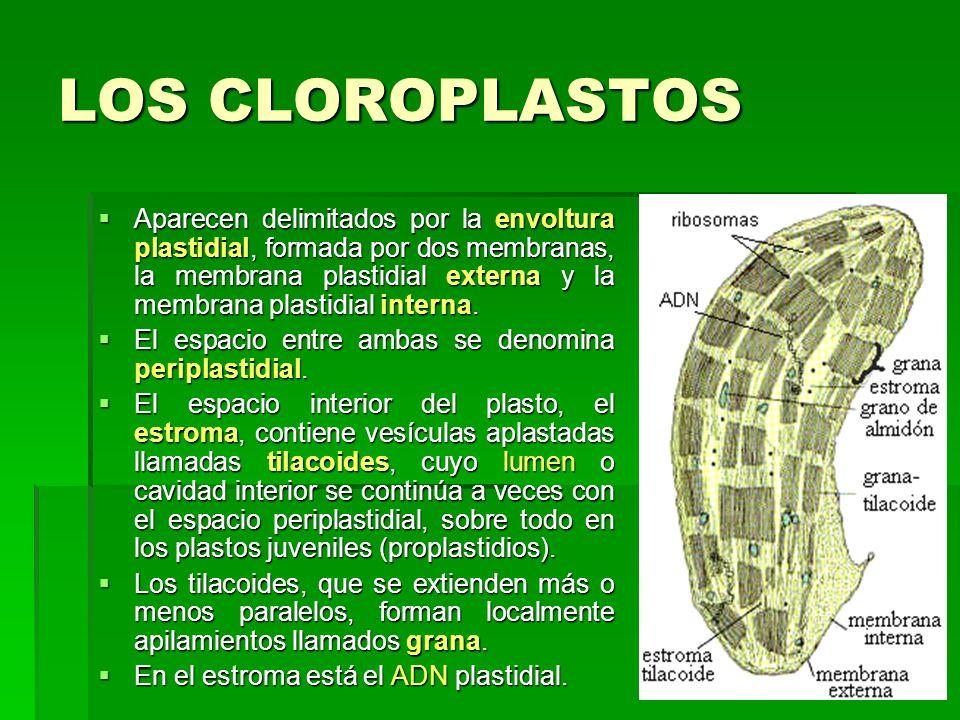 LOS CLOROPLASTOS Aparecen delimitados por la envoltura plastidial, formada por dos membranas, la membrana plastidial externa y la membrana plastidial
