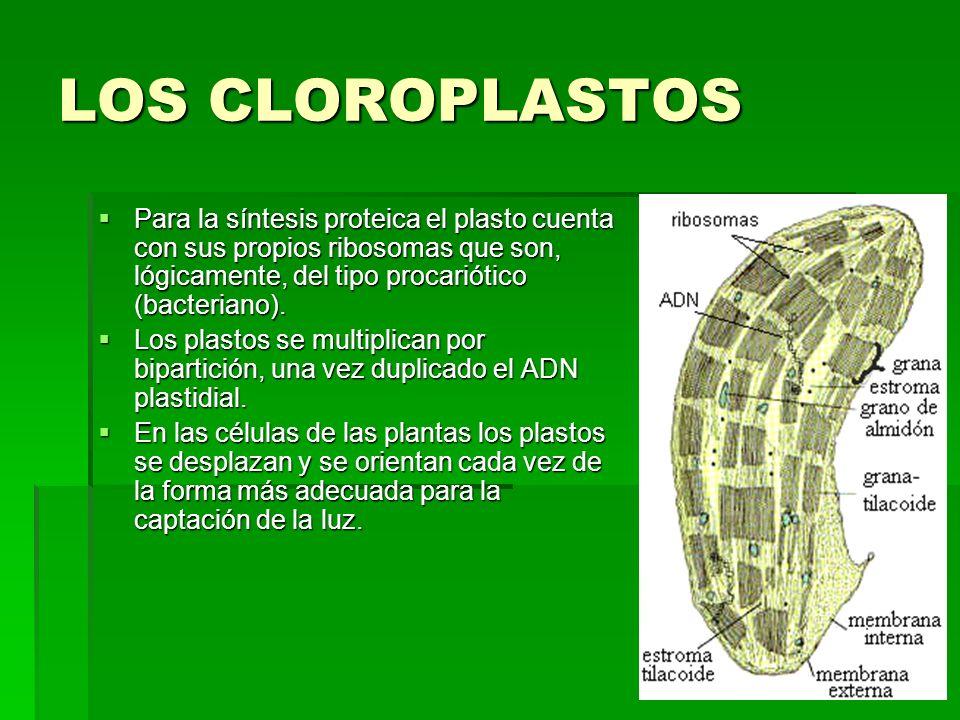 LOS CLOROPLASTOS Para la síntesis proteica el plasto cuenta con sus propios ribosomas que son, lógicamente, del tipo procariótico (bacteriano). Para l