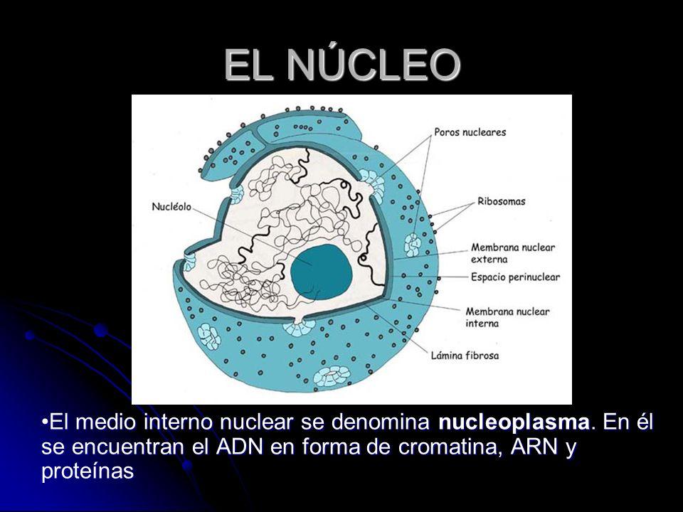 El medio interno nuclear se denomina nucleoplasma. En él se encuentran el ADN en forma de cromatina, ARN y proteínas