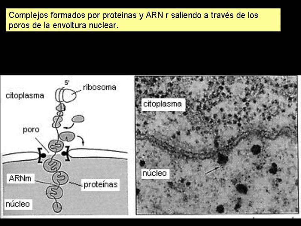 En el nucleolo se concentran los genes ribosomales, es decir, los que codifican para el ARNr.