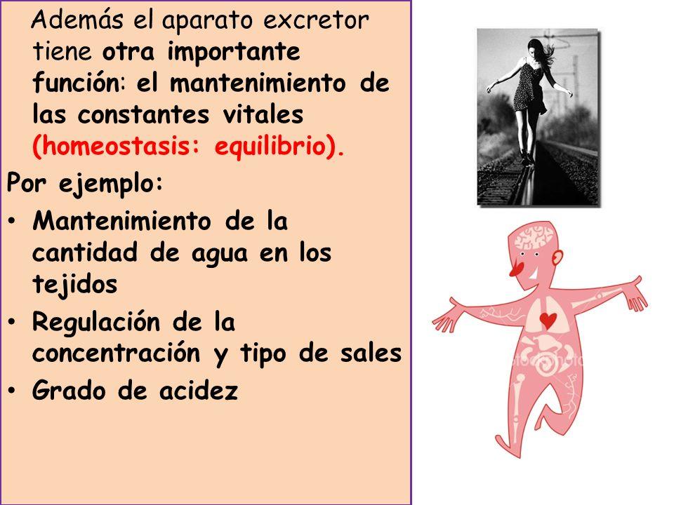 Además el aparato excretor tiene otra importante función: el mantenimiento de las constantes vitales (homeostasis: equilibrio). Por ejemplo: Mantenimi