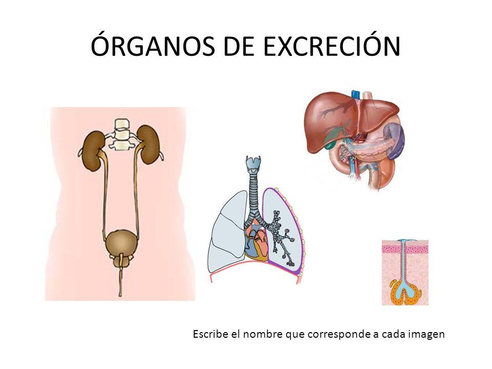 Insuficiencia renal Nefritis Cistitis Incontinencia Cálculos renales (piedras en el riñón) ENFERMEDADES DEL APARATO EXCRETOR