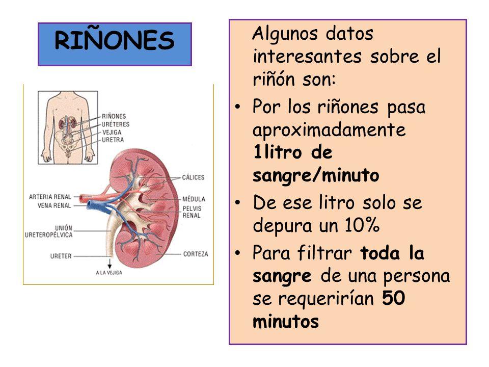 Algunos datos interesantes sobre el riñón son: Por los riñones pasa aproximadamente 1litro de sangre/minuto De ese litro solo se depura un 10% Para fi
