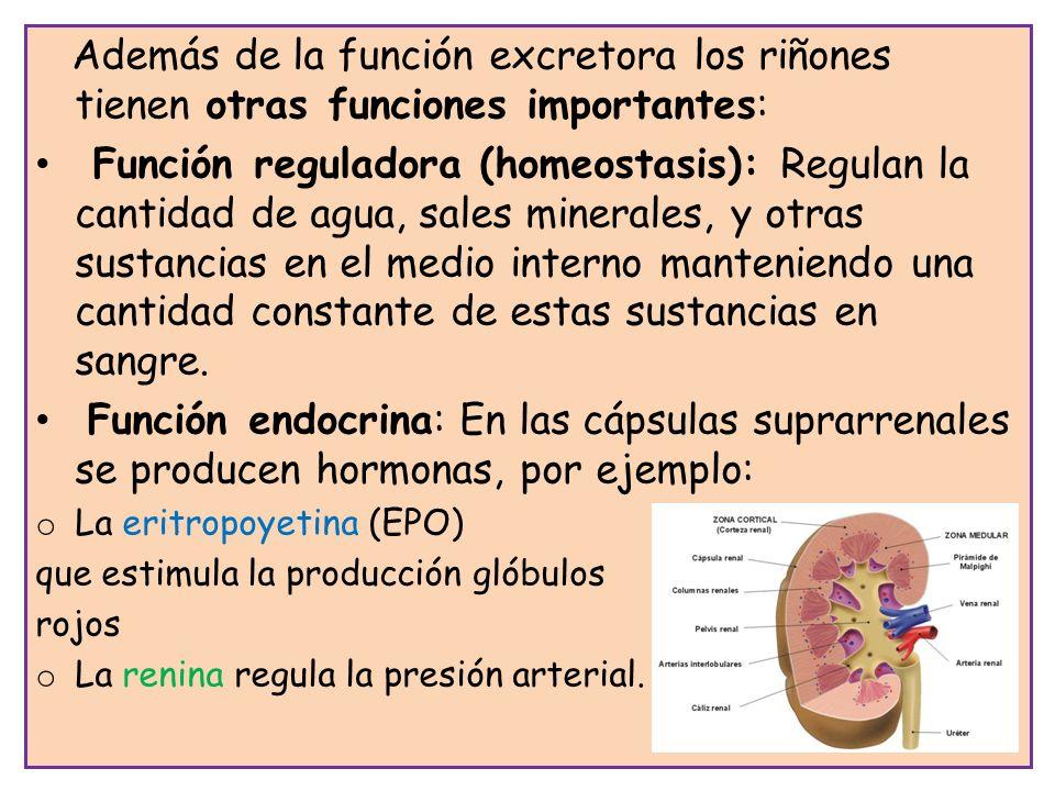 Además de la función excretora los riñones tienen otras funciones importantes: Función reguladora (homeostasis): Regulan la cantidad de agua, sales mi