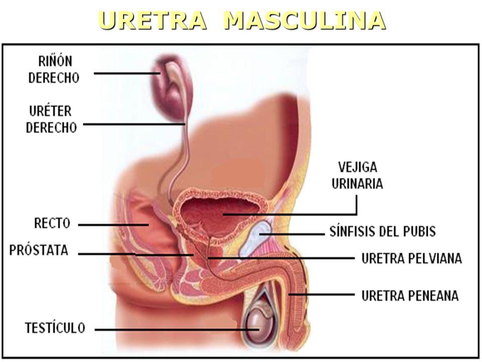 URETRA MASCULINA