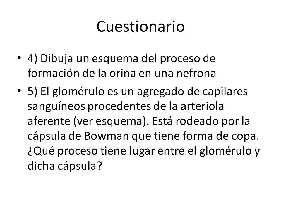 Cuestionario 4) Dibuja un esquema del proceso de formación de la orina en una nefrona 5) El glomérulo es un agregado de capilares sanguíneos procedent