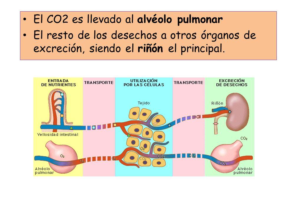 ÓRGANOS EXCRETORES Aparato urinario Hígado Pulmones Glándula sudorípara