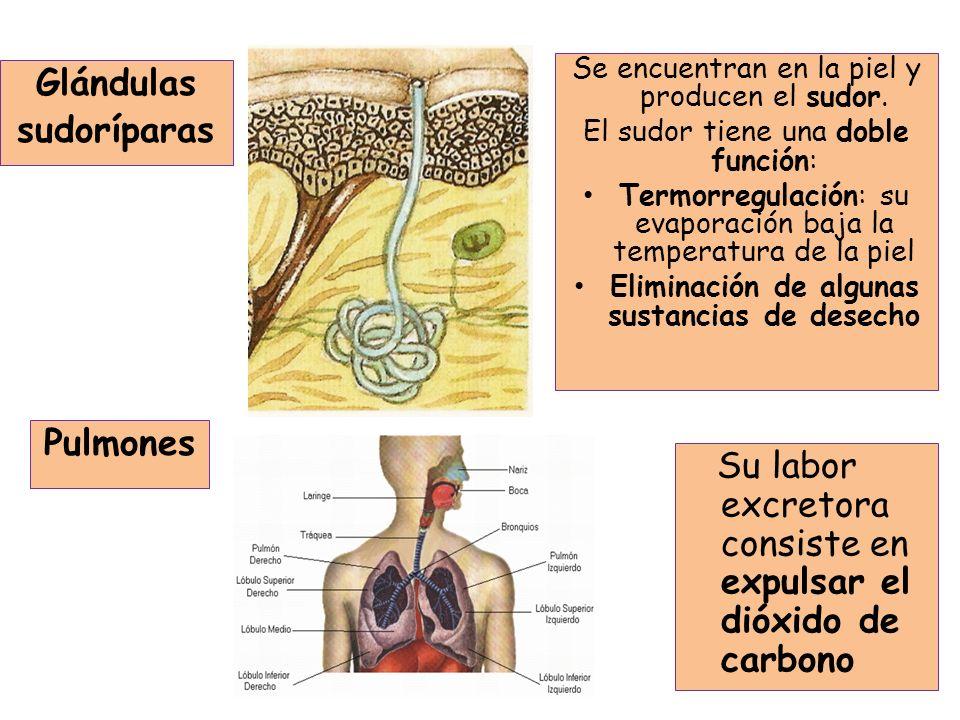 Los conductos o tubos colectores desembocan en la pelvis renal, formando el uréter.