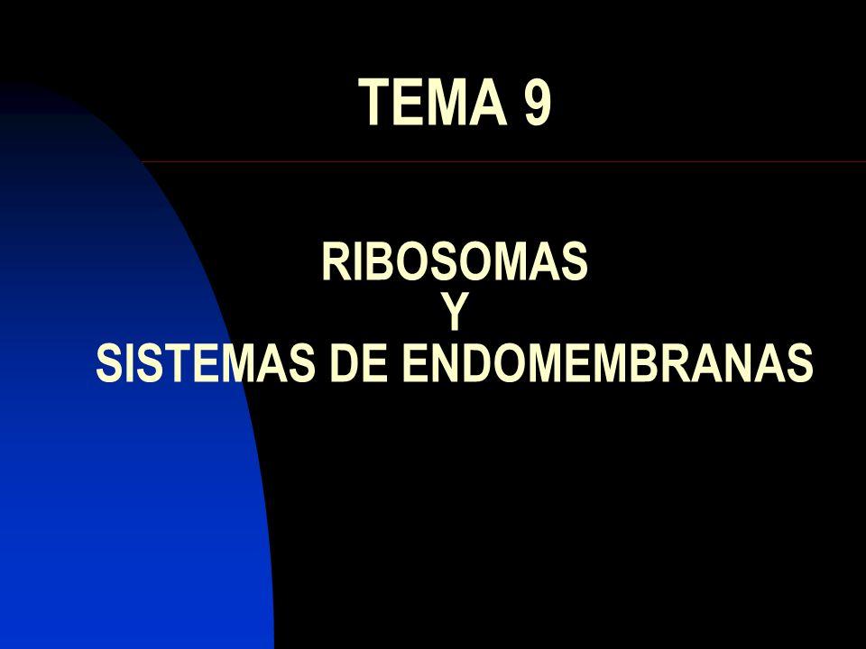 RIBOSOMAS Es el orgánulo más abundante Da aspecto granuloso al citoplasma Formado por dos subunidades: Grande 60 S Pequeña 40 S Se fabrican en el nucleolo Se pueden encontrar: Citosol Envoltura nuclear Retículo endoplasmático rugoso Se agrupan formando POLISOMAS