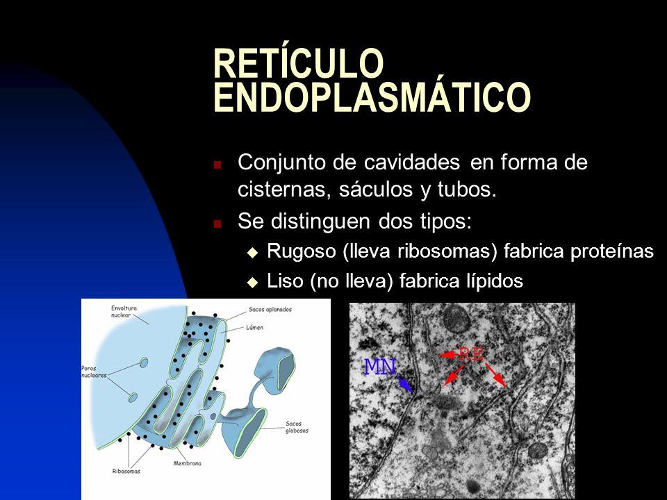 APARATO DE GOLGI Sistema mixto de cisternas apiladas (DICTIOSOMAS) y vesículas (de transición en la cara cis y de secreción en la cara trans) Orgánulo dinámico Funciones: Maduración de las glucoproteínas provenientes del retículo.