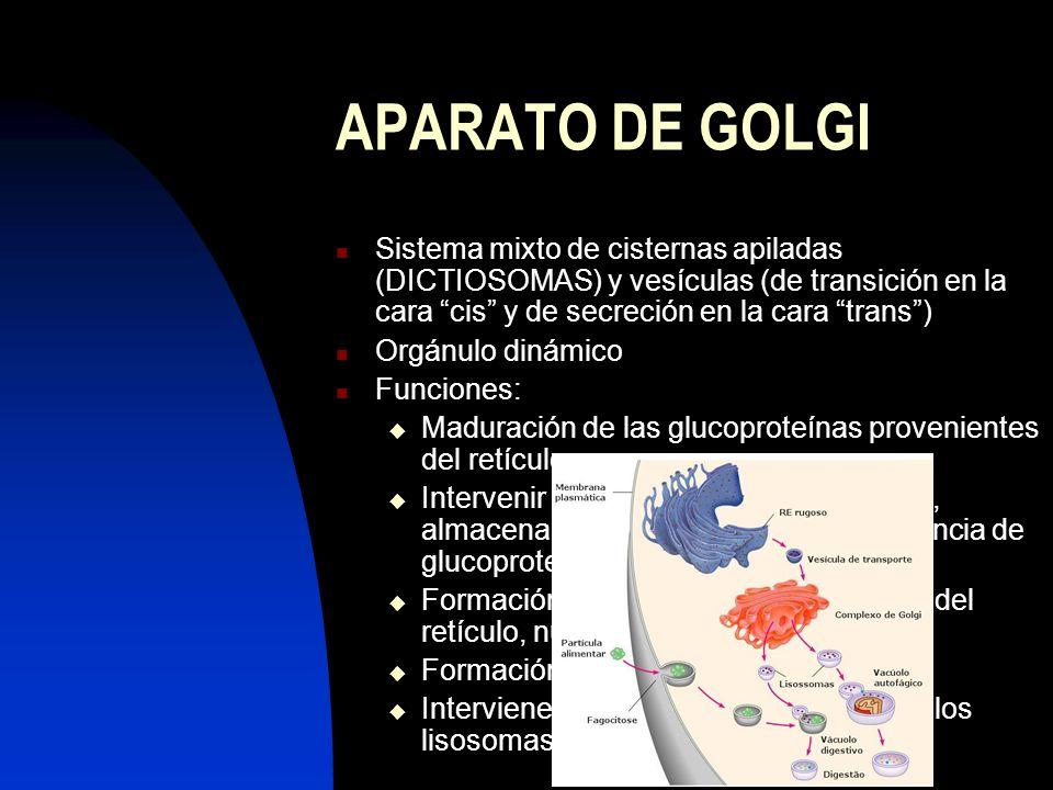 APARATO DE GOLGI Sistema mixto de cisternas apiladas (DICTIOSOMAS) y vesículas (de transición en la cara cis y de secreción en la cara trans) Orgánulo