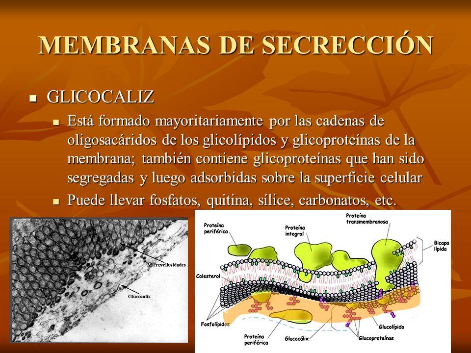 MEMBRANAS DE SECRECCIÓN GLICOCALIZ GLICOCALIZ Está formado mayoritariamente por las cadenas de oligosacáridos de los glicolípidos y glicoproteínas de
