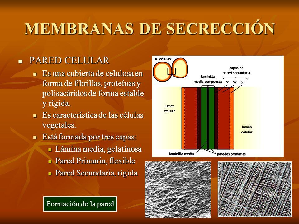 MEMBRANAS DE SECRECCIÓN PARED CELULAR PARED CELULAR Es una cubierta de celulosa en forma de fibrillas, proteínas y polisacáridos de forma estable y rí