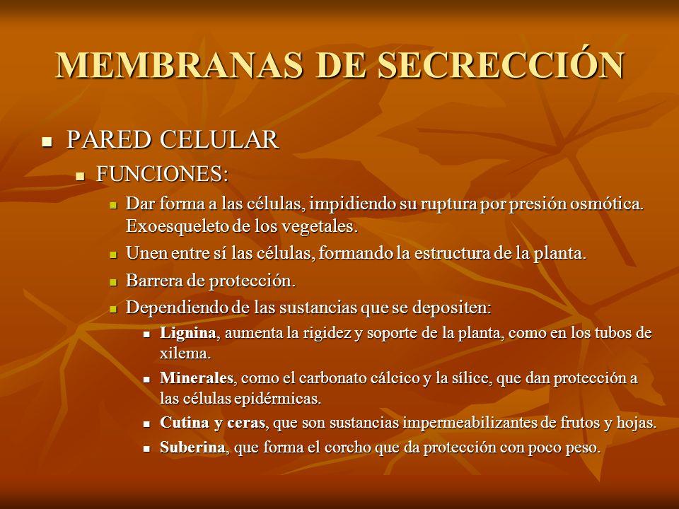 MEMBRANAS DE SECRECCIÓN PARED CELULAR PARED CELULAR FUNCIONES: FUNCIONES: Dar forma a las células, impidiendo su ruptura por presión osmótica. Exoesqu