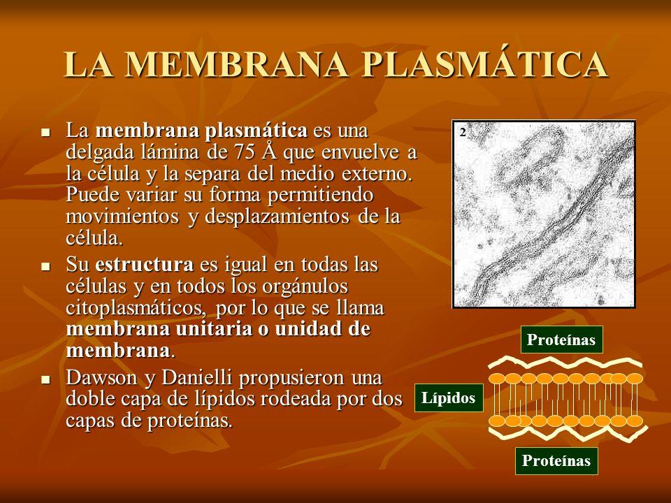 LA MEMBRANA PLASMÁTICA La membrana plasmática es una delgada lámina de 75 Å que envuelve a la célula y la separa del medio externo. Puede variar su fo