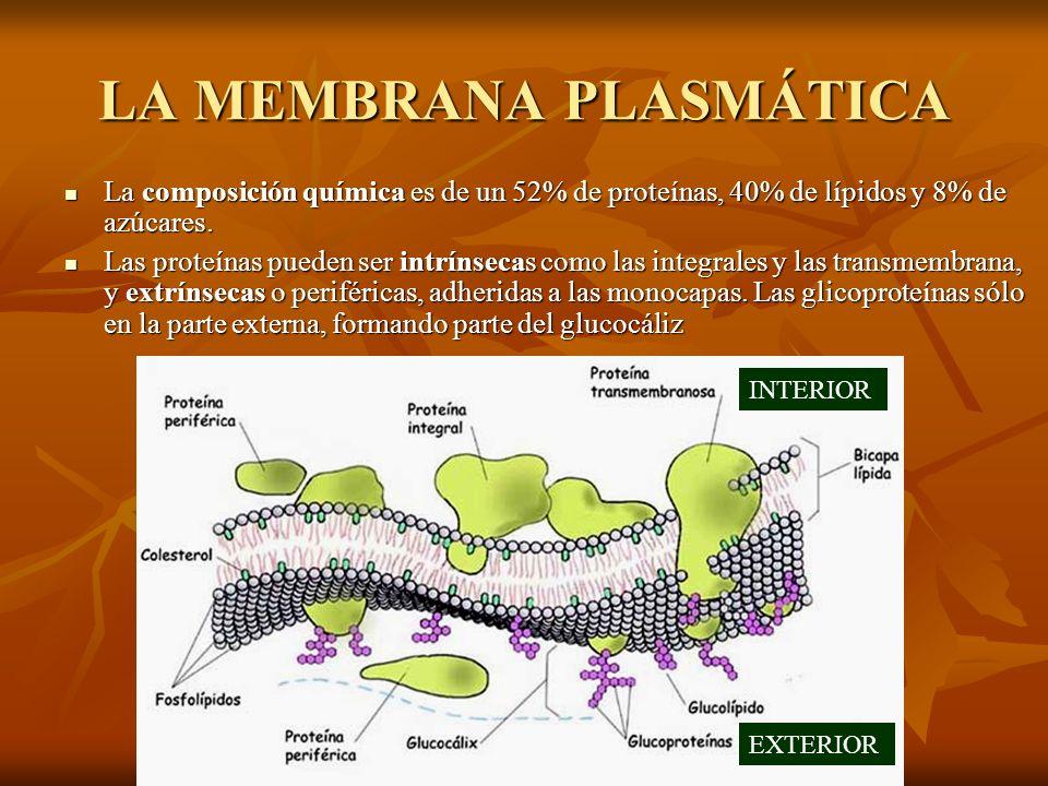 LA MEMBRANA PLASMÁTICA La composición química es de un 52% de proteínas, 40% de lípidos y 8% de azúcares. Las proteínas pueden ser intrínsecas como la