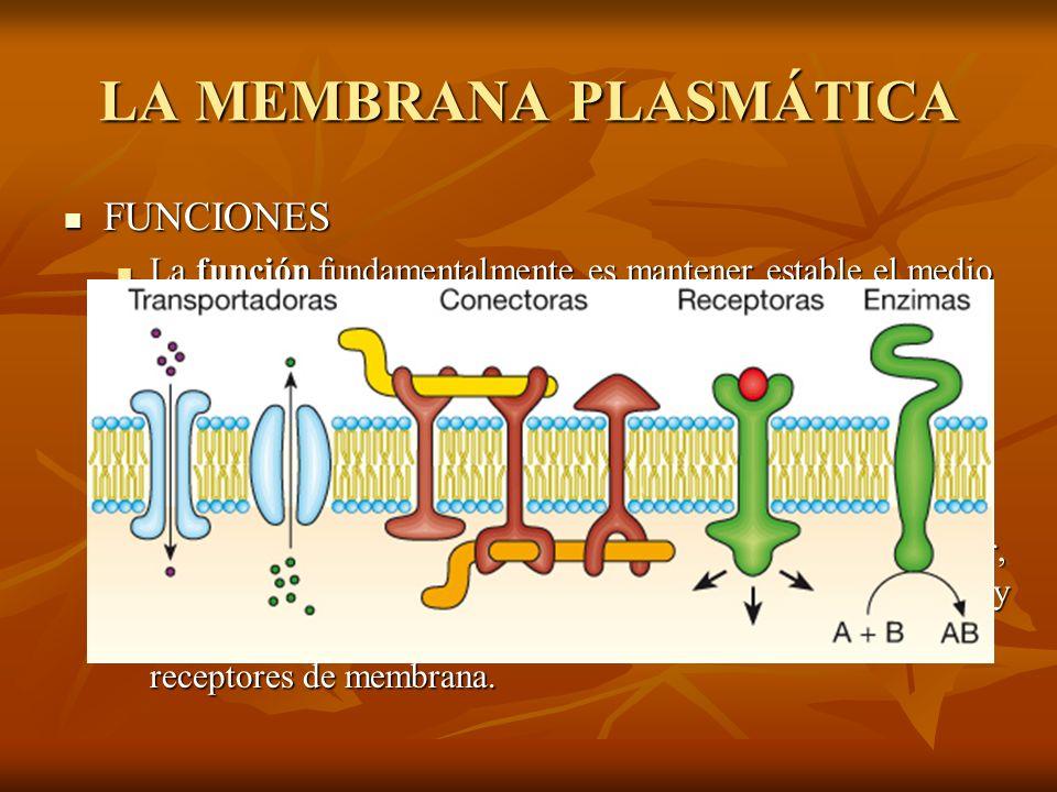 LA MEMBRANA PLASMÁTICA FUNCIONES FUNCIONES La función fundamentalmente es mantener estable el medio intracelular, regulando el paso de agua, moléculas