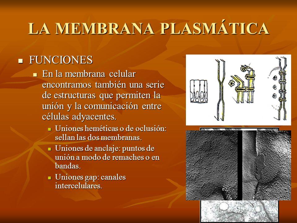 LA MEMBRANA PLASMÁTICA FUNCIONES FUNCIONES En la membrana celular encontramos también una serie de estructuras que permiten la unión y la comunicación