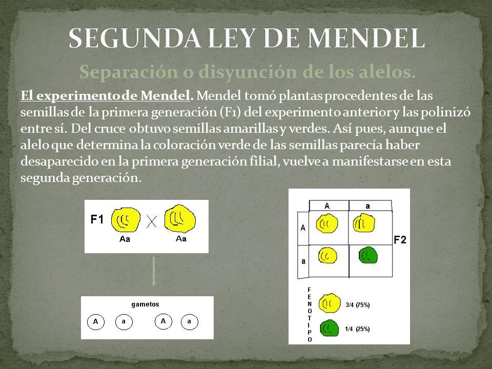Separación o disyunción de los alelos. El experimento de Mendel. Mendel tomó plantas procedentes de las semillas de la primera generación (F1) del exp