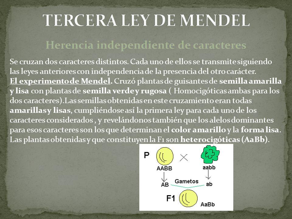 Herencia independiente de caracteres Se cruzan dos caracteres distintos. Cada uno de ellos se transmite siguiendo las leyes anteriores con independenc