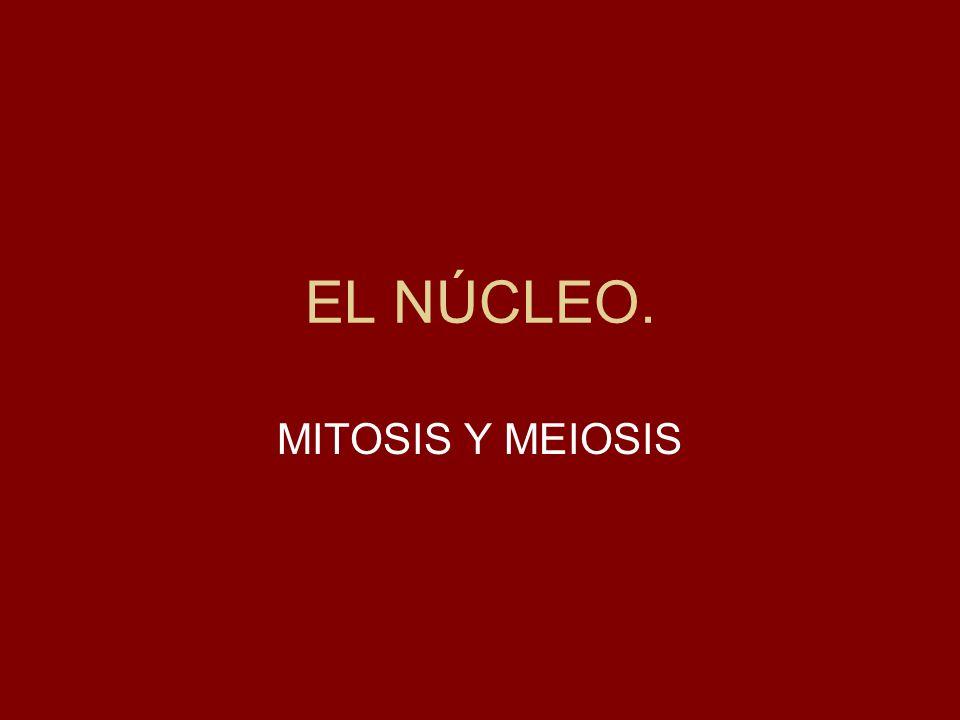 Primera división meiótica: TELOFASE I Reaparece el nucleolo y las membranas nucleares alrededor de los núcleos hijos, cada uno de los cuales contiene un juego de cromosomas (n).