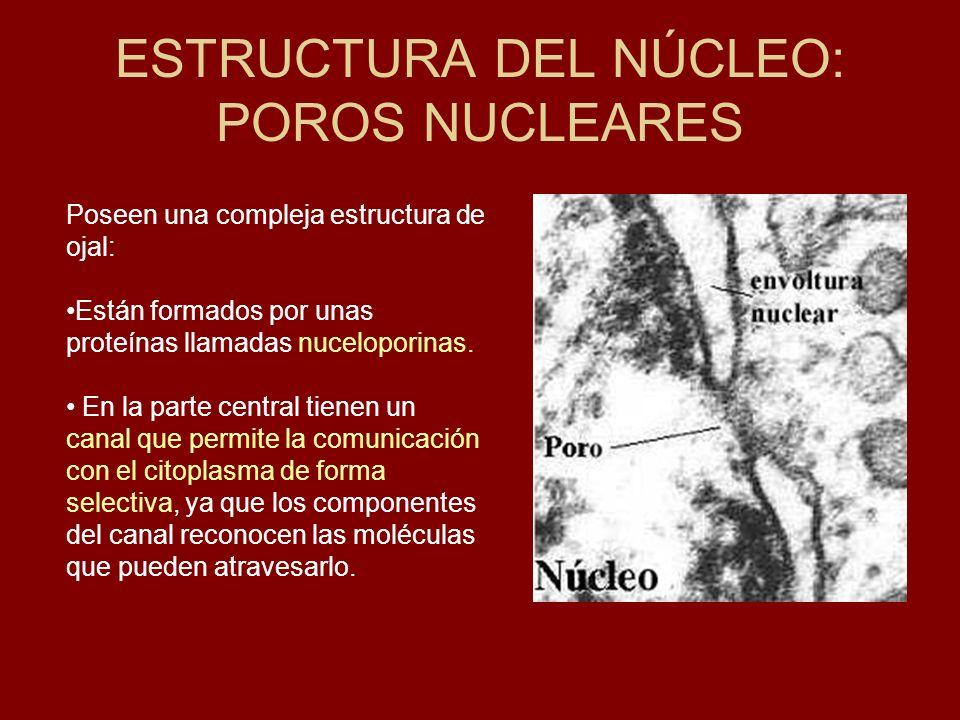 ESTRUCTURA DEL NÚCLEO: POROS NUCLEARES Poseen una compleja estructura de ojal: Están formados por unas proteínas llamadas nuceloporinas. En la parte c