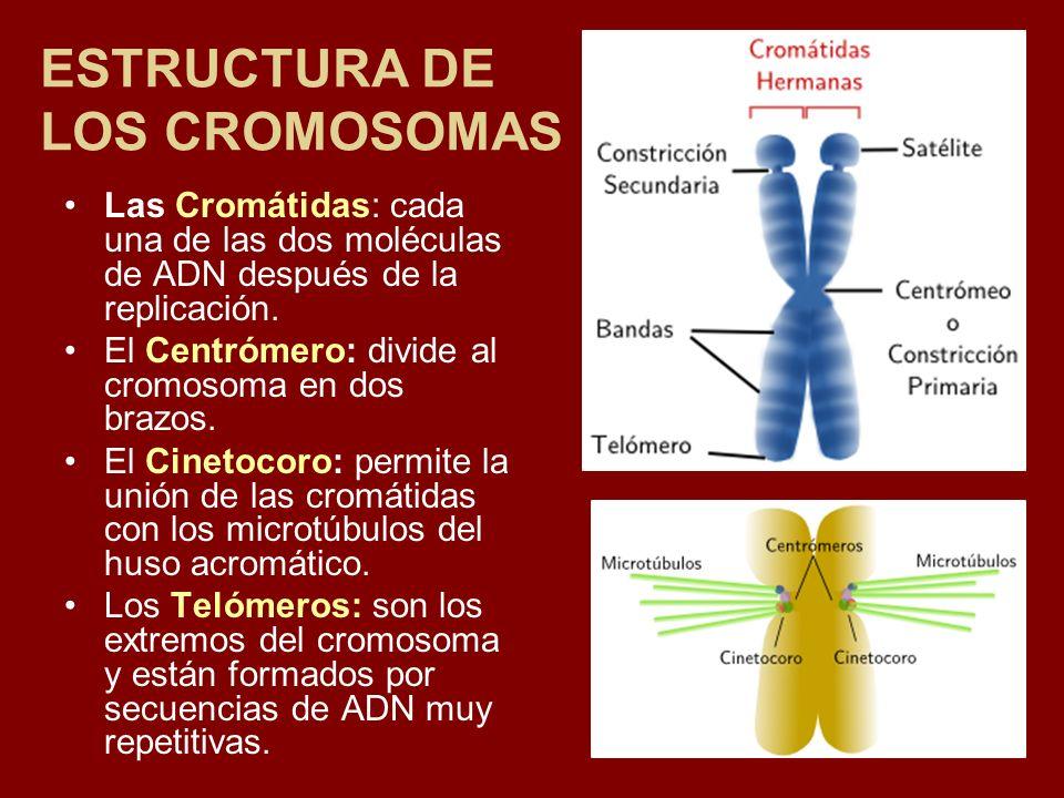 ESTRUCTURA DE LOS CROMOSOMAS Las Cromátidas: cada una de las dos moléculas de ADN después de la replicación. El Centrómero: divide al cromosoma en dos