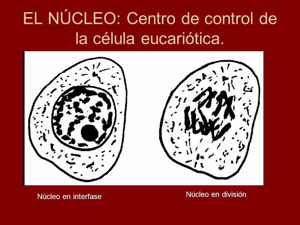 IMPORTANCIA BIOLÓGICA DEL NÚCLEO a) Estabilidad génica: El ADN está más protegido.